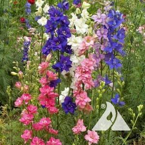 Larkspur, Rocket Imperial Mix Wildflower