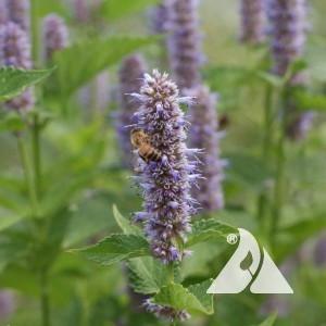 Hyssop Lavender Wildflower