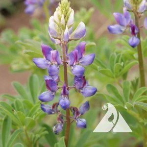 Lupine, Arroyo Wildflower