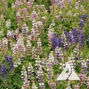 Lupine, Dwarf Pixie Delight Wildflower