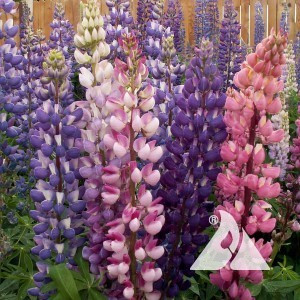 Lupine, Russel Wildflower