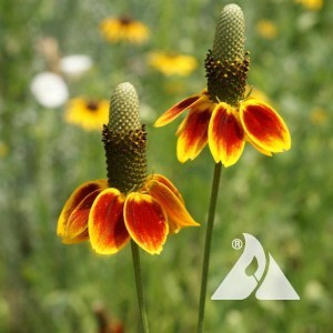 Mexican Hat Coneflower Wildflower