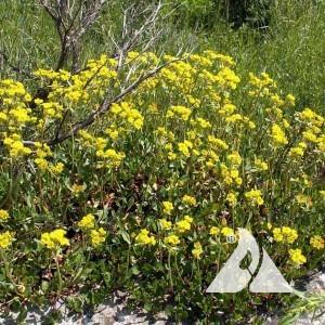 Sulphur Flower Wildflower