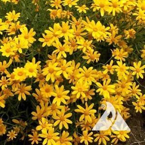 Oregon Sunshine Wildflower