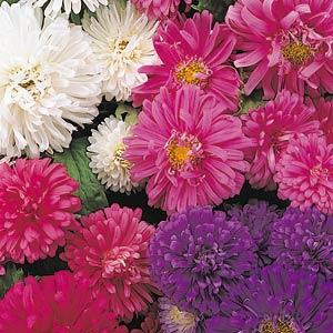 Pot N Patio Aster Mix Seeds