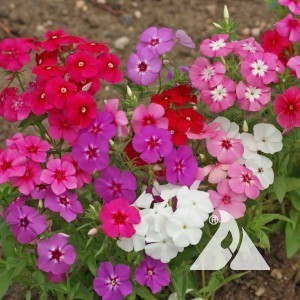 Phlox, Annual Wildflower