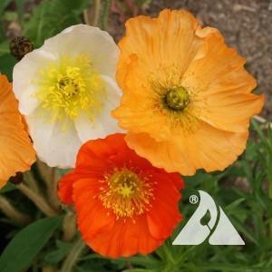 Poppy, Iceland Wildflower