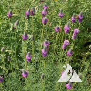 Purple Prairie Clover Wildflower