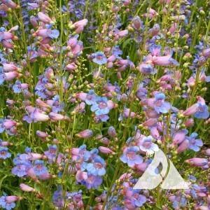 Showy Penstemon Wildflower