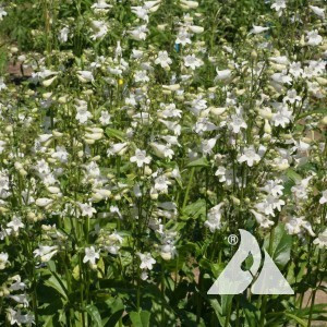 Smooth Penstemon Wildflower