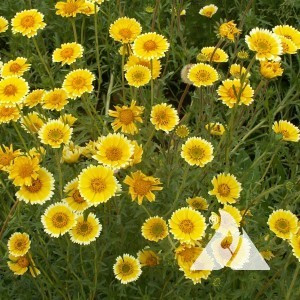 Tidy Tips Wildflower