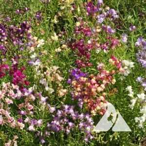 Toadflax/ Spurred Snapdragon Fairy Wildflower