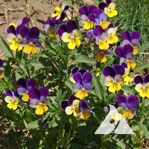 Viola, Johnny Jump Up Wildflower