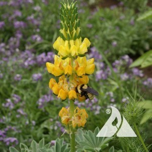 Yellow Lupine Wildflower