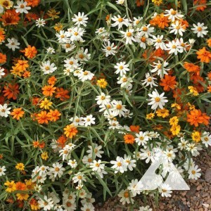 Zinnia, Classic Mix Wildflower