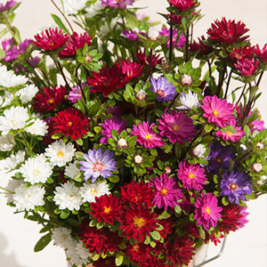 Serenade Aster Mix Seeds