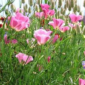 California Poppy Purple Gleam