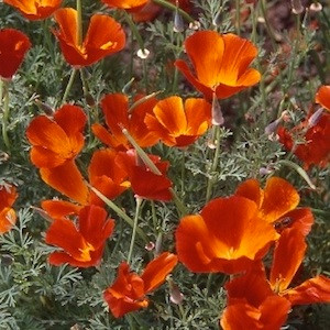 California Poppy Red Chief
