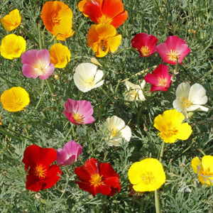 California Poppy Formula Mix
