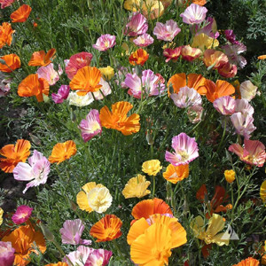 California Poppy Mission Bells