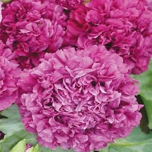 Poppy Peony Double Purple