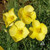 California Poppy Yellow