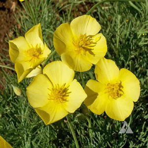 California Poppy Yellow