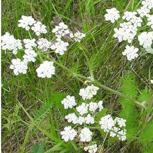 Caraway Herb
