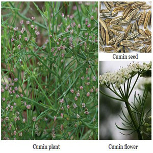 Cumin Herb Seeds