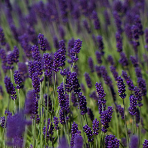 Lavandula Lavender Lady
