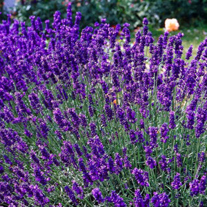 Hidcote Blue English Lavender