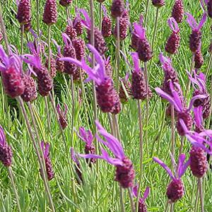 Purple Ribbon Lavender