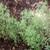 Summer Savory Herb