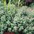Sweet Majoram Herb