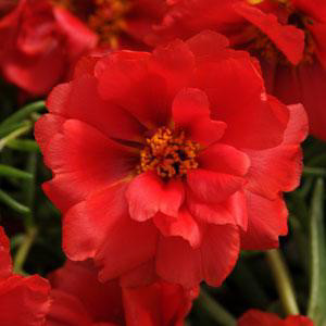Happy Hour Deep Red Portulaca