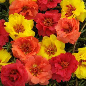 Happy Hour Tropical Mix Portulaca