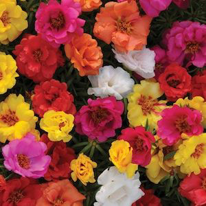 Happy Hour Mix Portulaca