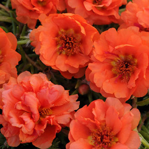 Happy Trails Orange Trailing Portulaca