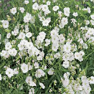 Gypsy White Baby's Breath Seeds-Gypsophila