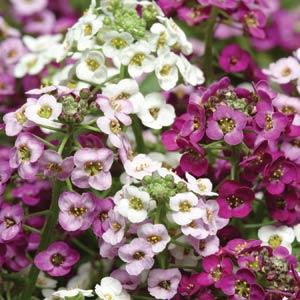 ALYSSUM CLEAR CRYSTAL MIXTURE