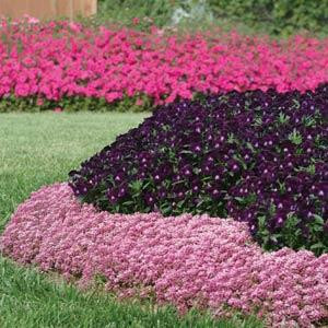 ALYSSUM EASTER BONNET DEEP PINK
