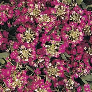 ALYSSUM EASTER BONNET DEEP ROSE