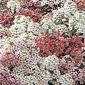 ALYSSUM EASTER BONNET PASTEL MIX