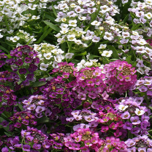 ALYSSUM GOLF BRIGHT MIX