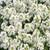 ALYSSUM GOLF PURE WHITE