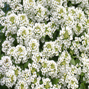 ALYSSUM GOLF PURE WHITE
