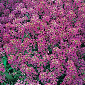 ALYSSUM GOLF ROSE
