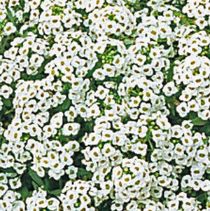 ALYSSUM SNOW CRYSTALS