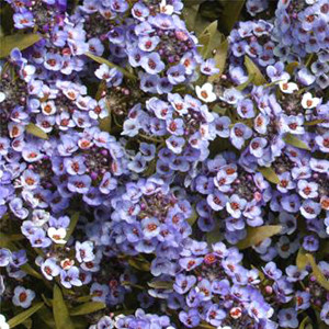 ALYSSUM WONDERLAND BLUE