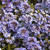 ALYSSUM WONDERLAND BLUE